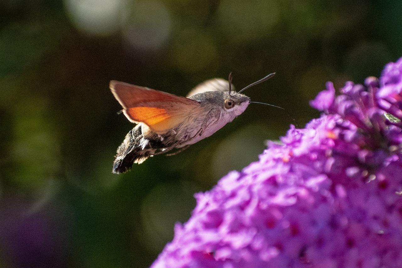 Fruczak gołąbek – polski koliber